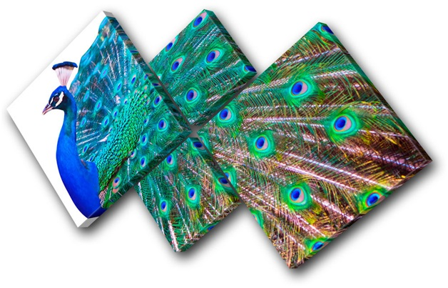 Peacock Canvases