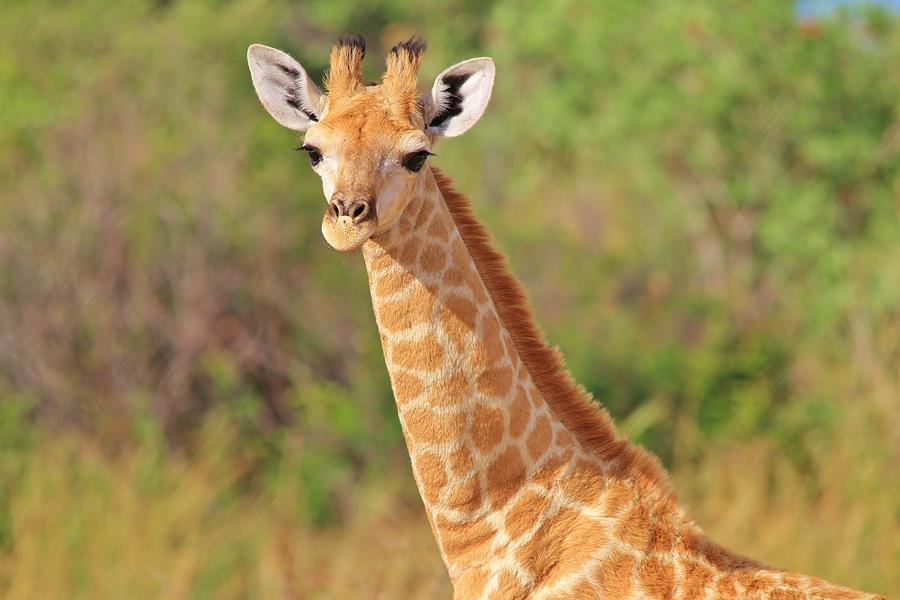 A Poster of a Giraffe