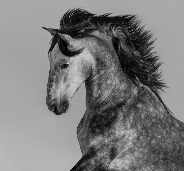 A Black and White Horse Poster