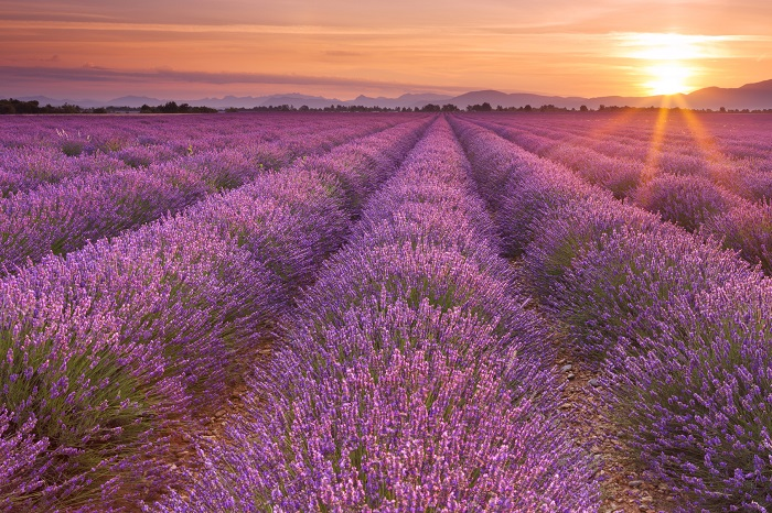 A Lavender Field Poster